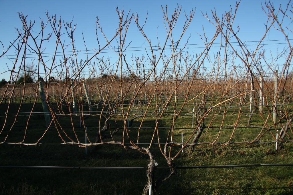 Wolffer Estate, VSP vines